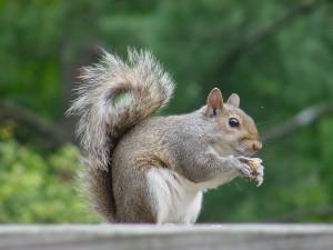 EastGraySquirrel